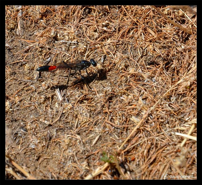 Sand Wasp—Ammophila procera (female)