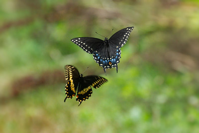 Pair of Red-spotted Purple Butterflies in flight • South Sandy Creek, Lakeview WMA, NY • 2012
