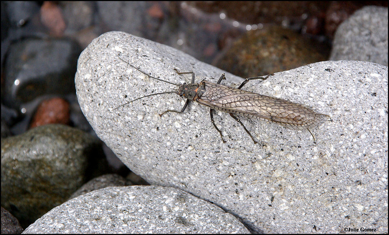 Giant Stonefly ~ Pteronarcys californicus