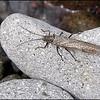 Giant Stonefly ~ Pteronarcys californicus