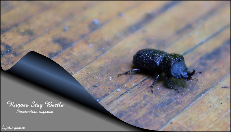 Rugose Stag Beetle ~ Sinodendron rugosum