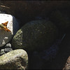 Woodland Skipper ~ Ochlodes sylvanoides