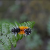 Yellow-spotted Tiger Moth Caterpillar ~ Lophocampa maculata