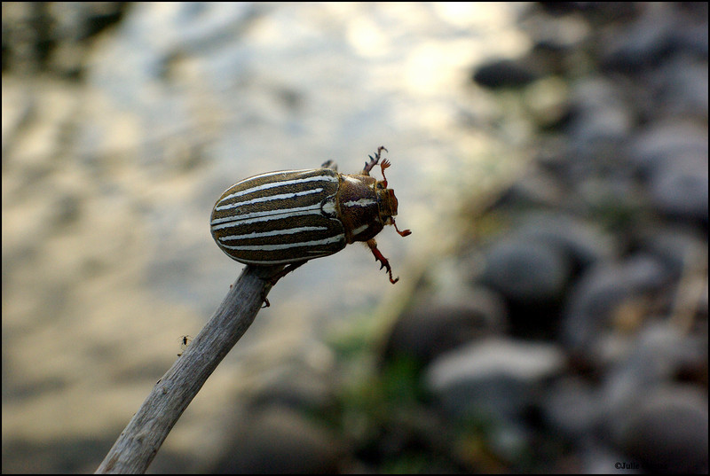 Ten-Lined June Beetle ~ Polyphylla decimlineata