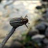 Ten-Lined June Beetle ~ Polyphylla decimlineata