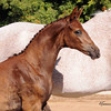 AHS CH  Filly Domiro-SPS Ramina 231