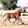 AHS CH  Filly Domiro-SPS Ramina 226
