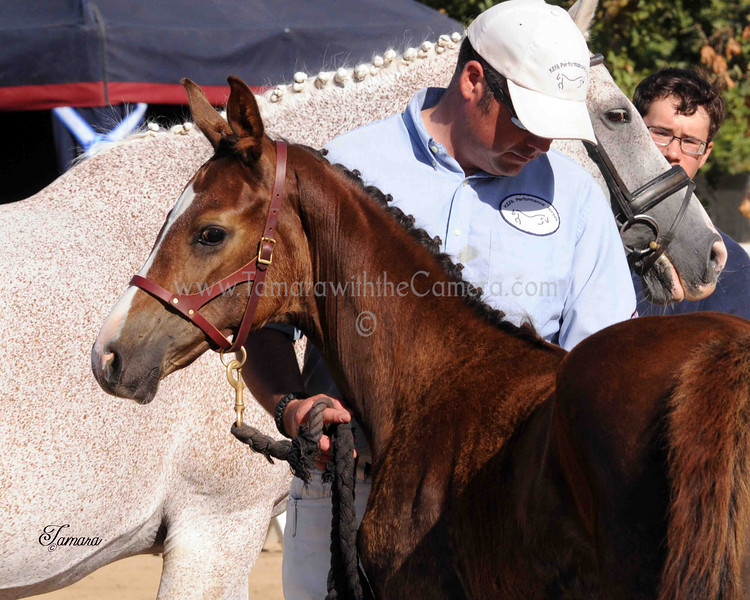 AHS CH Filly Domiro-SPS Ramina 221