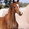 AHS CH  Filly Domiro-SPS Ramina 230