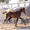 AHS CH Filly Domiro-SPS Ramina 222