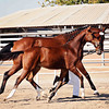AHS Belissimo M-Be Silvita Filly 451