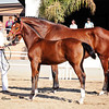 AHS Belissimo M-Be Silvita Filly 458