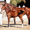AHS Belissimo M-Be Silvita Filly 457