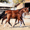 AHS Belissimo M-Be Silvita Filly 443
