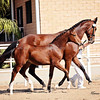 AHS Belissimo M-Be Silvita Filly 445