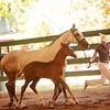 AHS 14 Wild Dance:Erresistible R colt 2268