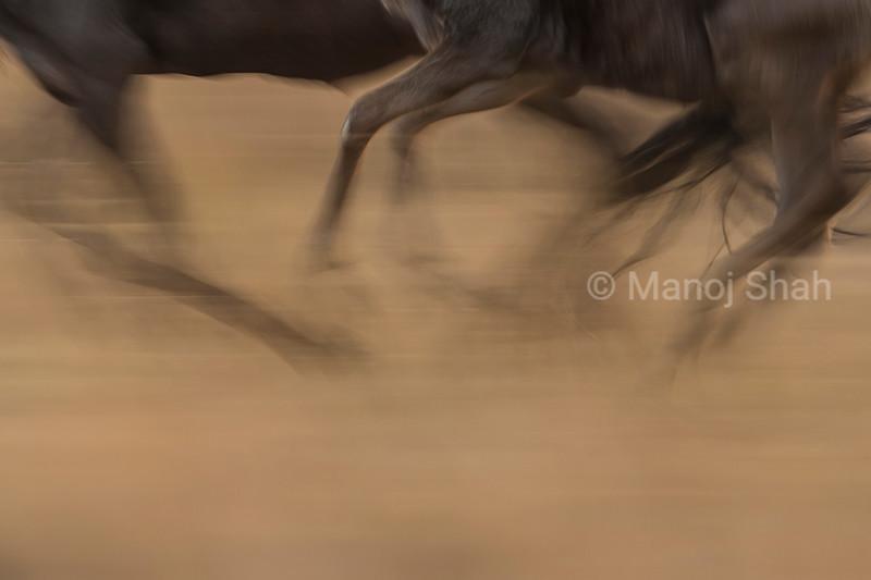 Galloping Wildebeests