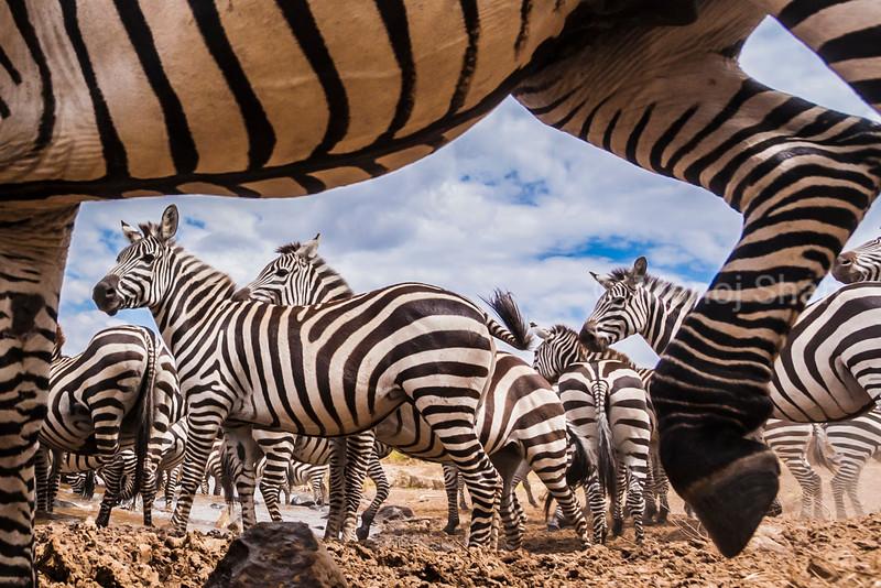 A spy camera capturing Zebra herd at Mara River Bank