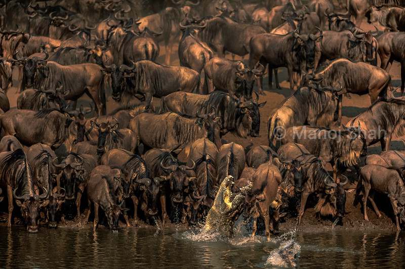 The migrating wildebeests on the Serengeti-Mara plains of East Africa provide essential food for the Nile crocodiles. To catch a wildebeest, the crocodile will approach totally submerged with only its eyes breaking the surface of the water. Moving slowly underwater until it gets within striking distance, at which point it will launch itself at the target. However, as it can be seen here, crocodiles often miss the target.