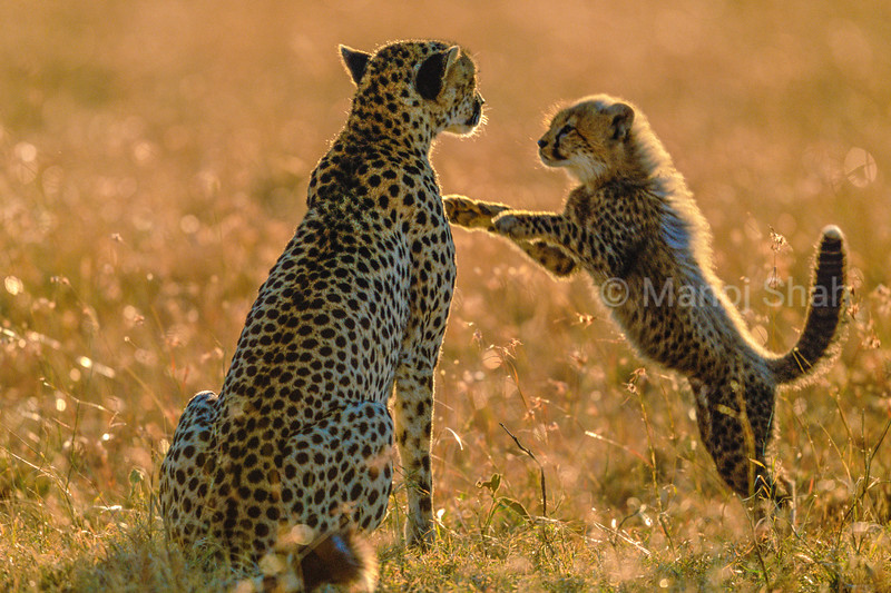 The cheetah cub, only 4 months old, has awakened from a nap to greet its mother with a leap. The mother cheetah is scanning her surrounding area for prey to hunt.