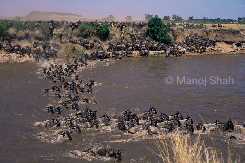 Iy took a long time for the nervous and agitated first wildebeest to cross and the rest followed.Once in the river, aa quick exit was on their minds. THE CROSSING WAS SWIFT AND FURIOUS AND THE CROCODILES DID NOT MANAGE TO MAKE A KILLING.