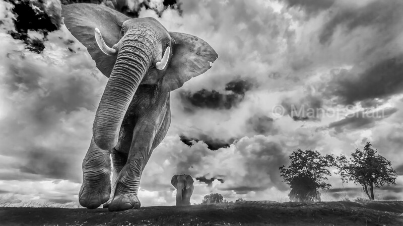 This is what future generations would say. An elephant will be just a memory, no more a reality. A dream where they will walk on Earth at peace, as they were born to do; kept alive only in our minds. In April 2016 105 tons of Ivory was burnt in Nairobi. It pained me to see how many elephants were brutally killed. It became a part of my life's work to capture on camera the remaining few living. This picture captures two things (depending on how you look at it): 1. They are walking out from heaven to earth and 2. The elephants slowly fading to nothing but memory. Their fragility is in our hands. This image gives a dramatic feel to many juxtapositions- power & frailty, gentility & giant.