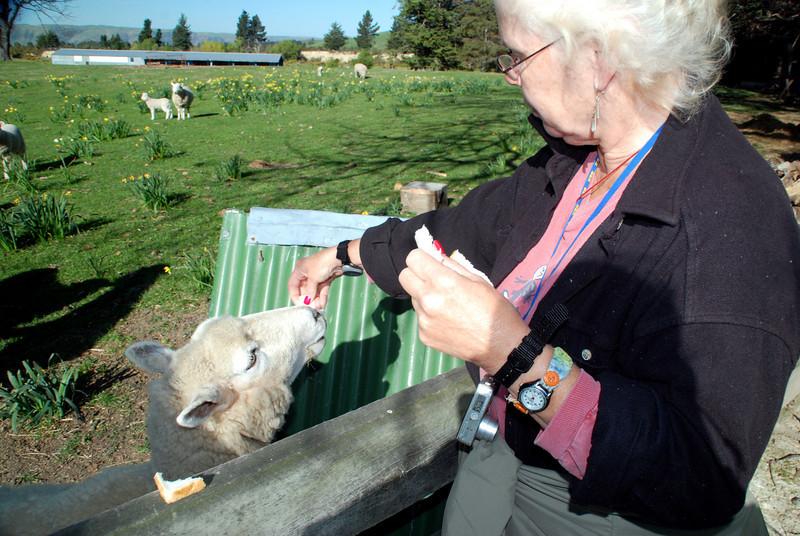 betty feeding sheep