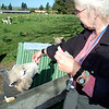 betty feeding sheep