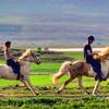 horses, Icelandic 2011