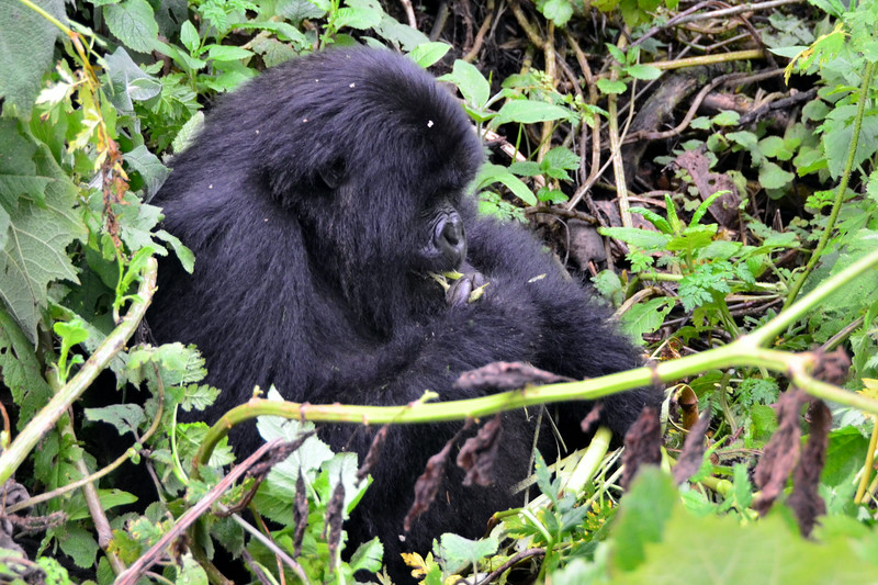 HIKING TO THE MOUNTAIN GORILLAS IN AFRICA