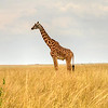 The Maasai Mara National Reserve (also known as Maasai Mara, Masai Mara and by the locals as The Mara) is a large game reserve in Narok County, Kenya, contiguous with the Serengeti National Park in Mara Region, Tanzania