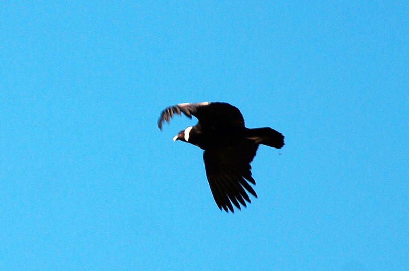 bird in flight Andes mountains