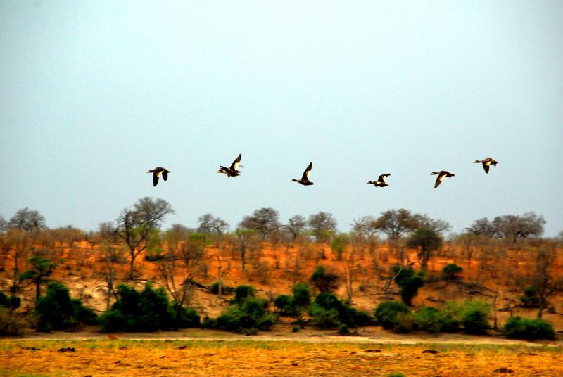 Geese in flight Africa