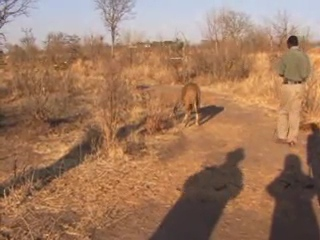 Had a chance to walk with lions in Zimbabwe. A little scary but everything went fine, and we had a very unusual experience.