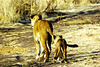 walking with lions in Zimbabwe, a must do