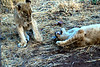 picture of lion cubs at play