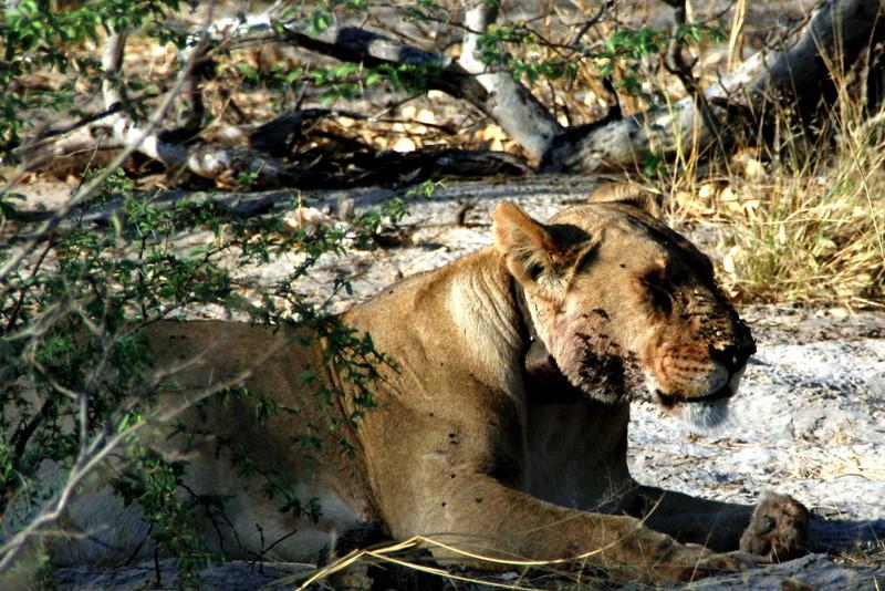Lion in Africa Moremi Game Reserve, Botswana in the Okavango Delta