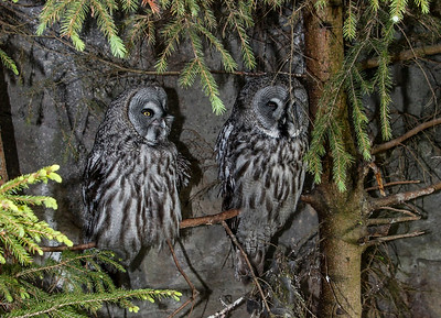 Grey owls at the zoo