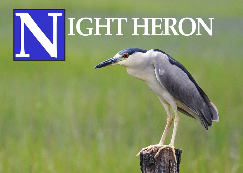 N is for Night Heron