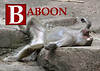 B is for Baboon