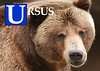 U is for Ursus