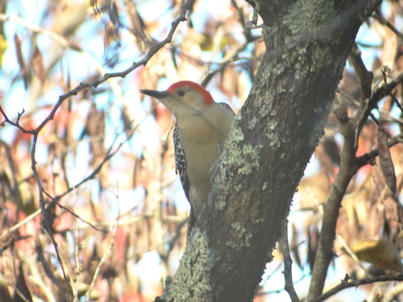 October 16 2012   Red-Bellied Woodpecker with Red Foliage