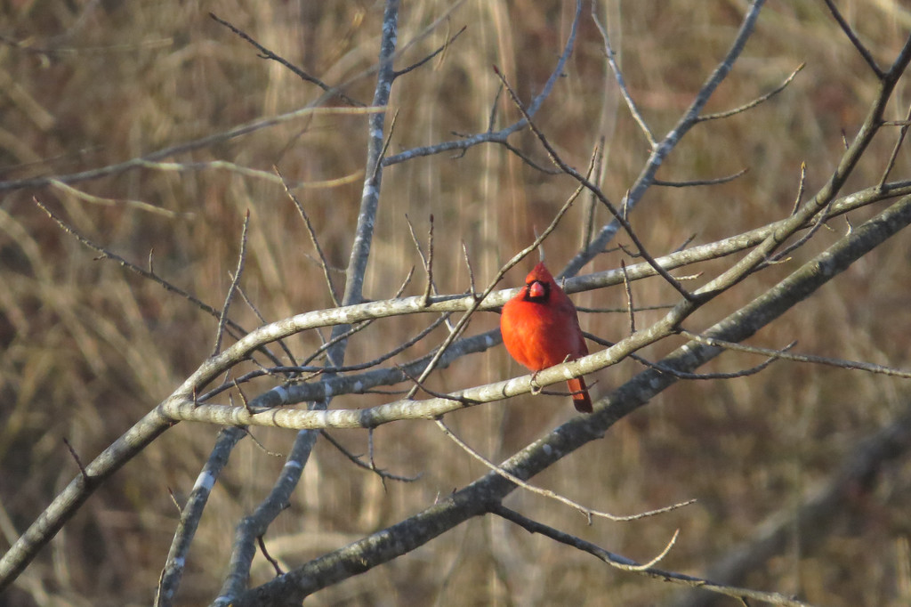 February 26 2014   Cold cardinal