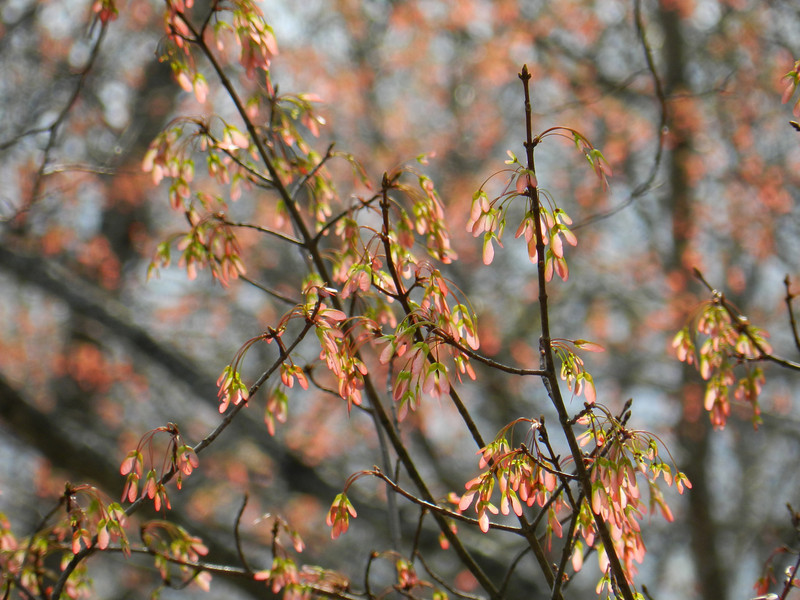 April 8 2011  Maple keys in the breeze