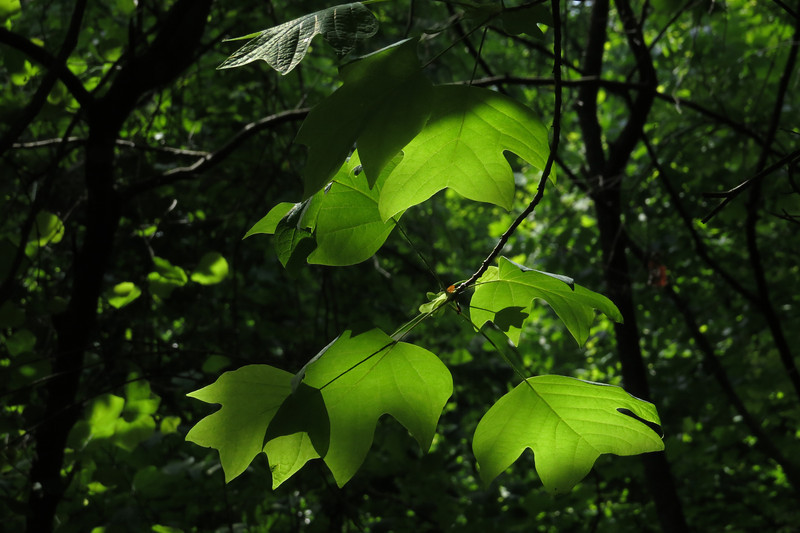 May 20 2014  Tulip tree leaves in dappled sun