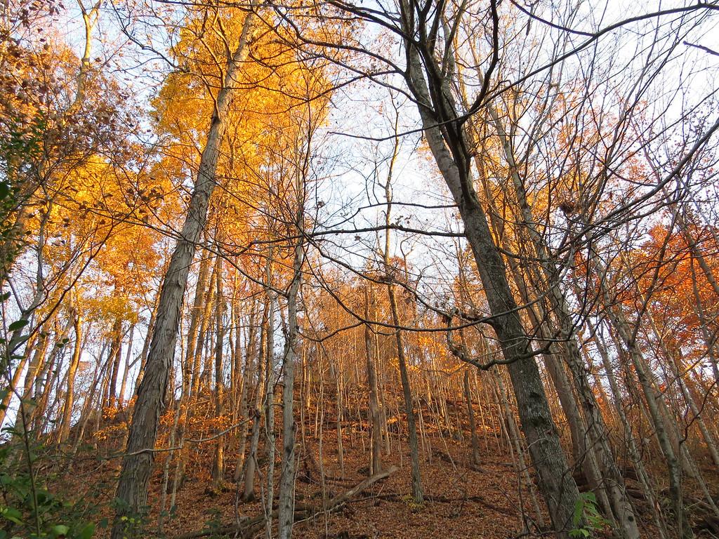 November 3 2013   Towering trees