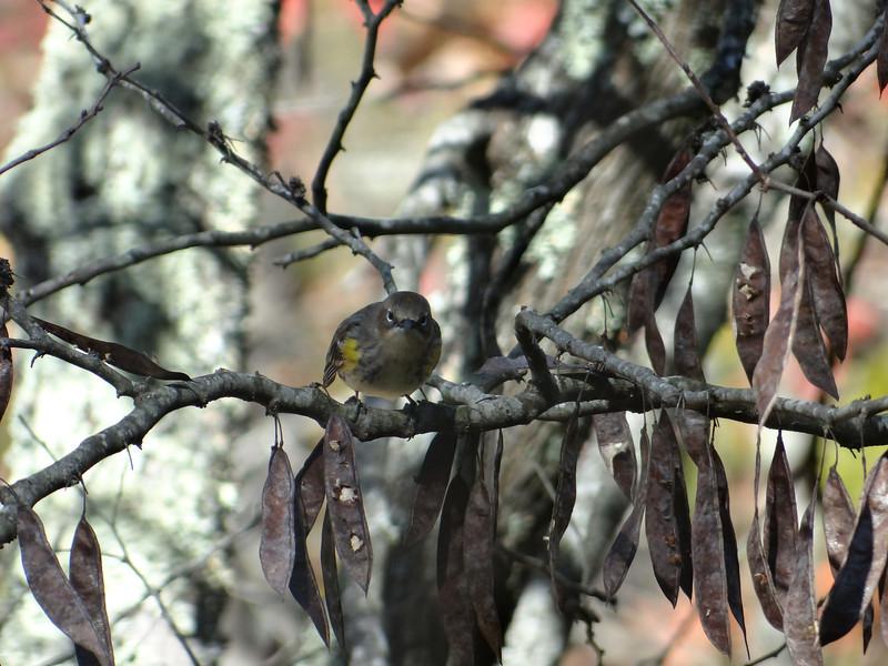 October 17 2012   Vigilant Warbler