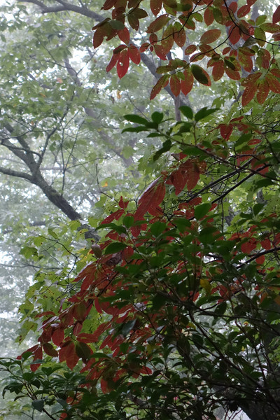 September 25 2013   Sourwood in Fog
