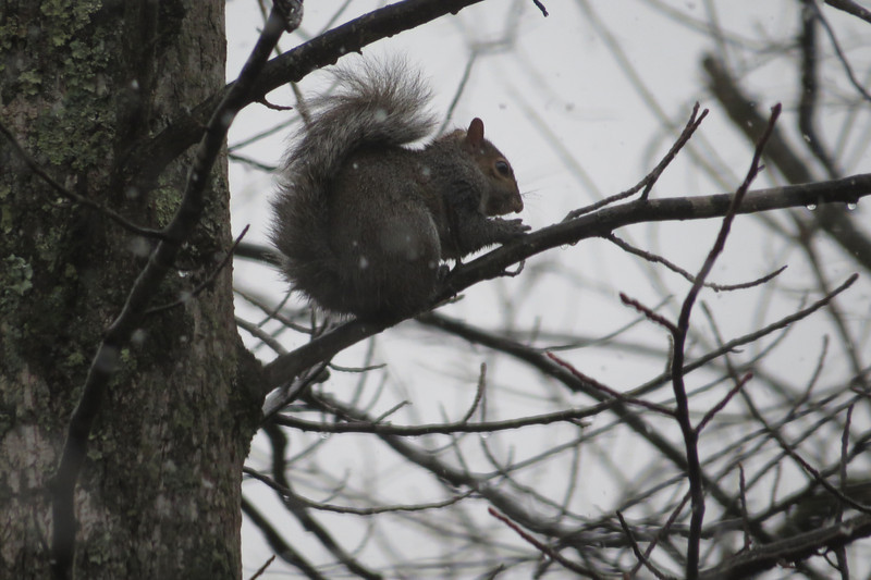January 15 2014   Squirrel in snowstorm