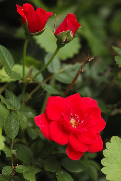 May 26 2014  Red rose of spring